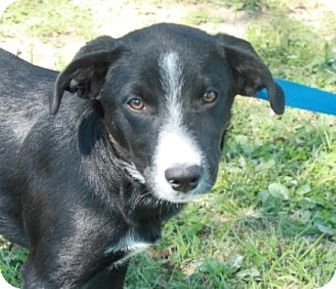 Border Collie/Labrador Retriever Mix Puppy for adoption in Newark, New Jersey - Mardi