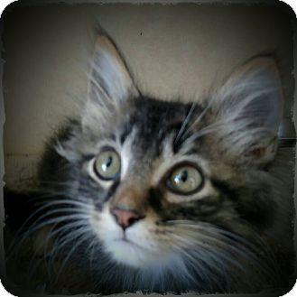 Domestic Mediumhair Kitten for adoption in Pueblo West, Colorado - Bugs