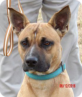 German Shepherd Dog/Boxer Mix Dog for adoption in Williamsport, Maryland - Rocket (55 lb) Perfect Boy!