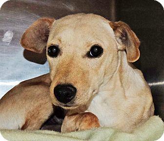 Chihuahua Mix Dog for adoption in Spokane, Washington - Dancer