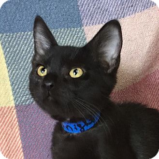Domestic Shorthair Kitten for adoption in Carencro, Louisiana - Midnight