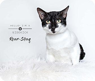 Domestic Shorthair Cat for adoption in Houston, Texas - Roar-Shaq