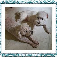 Bichon Frise Dog for adoption in Tulsa, Oklahoma - Gumby and Lola - OH