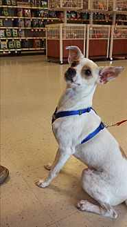 Italian Greyhound/Jack Russell Terrier Mix Dog for adoption in Selbyville, Delaware - JJ