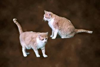Domestic Shorthair/Domestic Shorthair Mix Cat for adoption in Valley Falls, Kansas - Andy