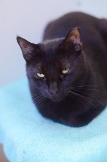 Domestic Shorthair/Domestic Shorthair Mix Cat for adoption in New Freedom, Pennsylvania - Ronald