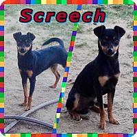 Chihuahua/Miniature Pinscher Mix Dog for adoption in Bakersfield, California - Screech