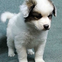 Adopt A Pet :: Kilroy - Westminster, CO