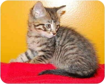 Domestic Shorthair Kitten for adoption in Taylor Mill, Kentucky - Elmo