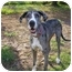 Photo 1 - Great Dane Dog for adoption in Green Cove Springs, Florida - Bane