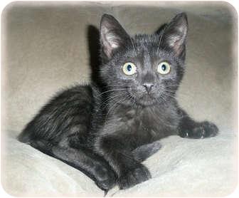 Domestic Shorthair Kitten for adoption in Brighton, Michigan - Astro
