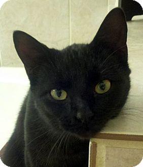 Bombay Cat for adoption in Denton, Texas - Eliza Doolittle
