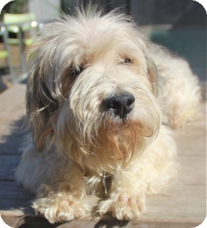 Basset Griffon Vendeen/Poodle (Miniature) Mix Dog for adoption in Norwalk, Connecticut - Bryce