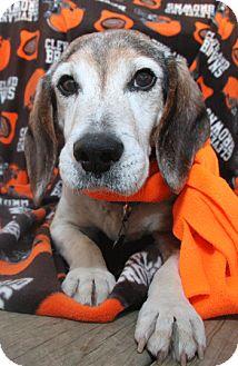 Beagle Dog for adoption in Berea, Ohio - Bernie