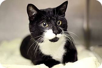 Domestic Shorthair Cat for adoption in Chicago, Illinois - Oleksander Wolf