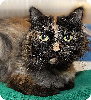 Domestic Longhair Cat for adoption in Port Washington, New York - Mimi