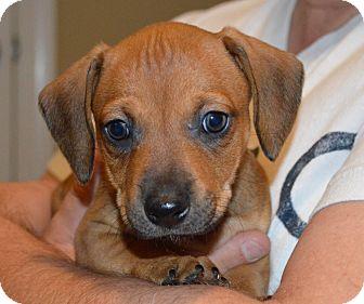 Dachshund Mix Puppy for adoption in Portsmouth, New Hampshire - Honey-adoption in progress