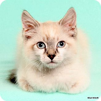 Domestic Mediumhair Kitten for adoption in Las Vegas, Nevada - Fruit-Loop