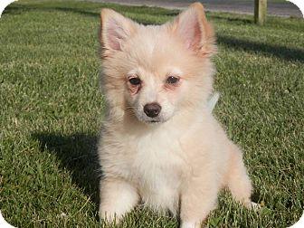 Pomeranian Puppy for adoption in Staunton, Virginia - Cinder
