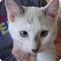 Adopt A Pet :: Morisot - St. Louis, MO