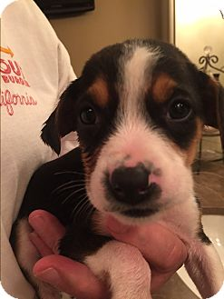 Beagle/Border Collie Mix Puppy for adoption in Gallatin, Tennessee - Rossi