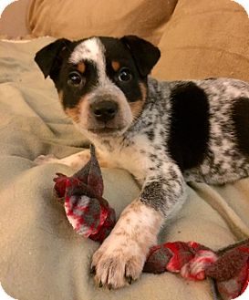 Australian Cattle Dog/Shepherd (Unknown Type) Mix Puppy for adoption in Baltimore, Maryland - Dundee