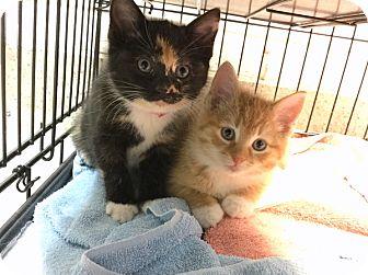 Domestic Shorthair Kitten for adoption in Philadelphia, Pennsylvania - Helga