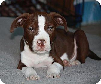 American Pit Bull Terrier Puppy for adoption in Sacramento, California - Ziggy