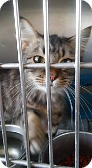 Maine Coon Kitten for adoption in Thomaston, Georgia - Tara