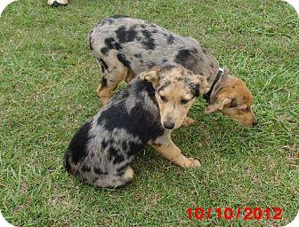 Catahoula Leopard Dog Dog for adoption in Lavon, Texas - Minnie & Jelly Bean