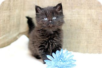Domestic Longhair Kitten for adoption in Midland, Michigan - Lennart