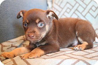 Miniature Pinscher/Chihuahua Mix Puppy for adoption in Staunton, Virginia - Benny