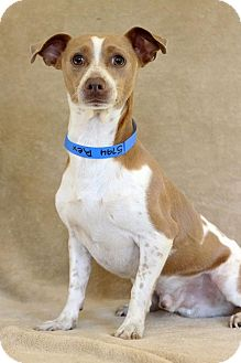 Chihuahua Dog for adoption in Waldorf, Maryland - Rex
