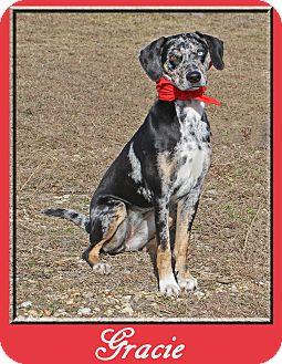 Catahoula Leopard Dog/Labrador Retriever Mix Dog for adoption in Hillsboro, Texas - Gracie