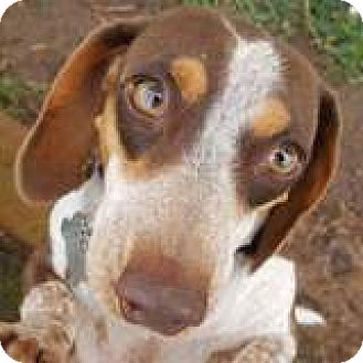 Dachshund Dog for adoption in Houston, Texas - Zoey Zuppa