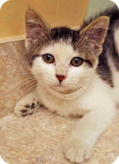 Domestic Shorthair Kitten for adoption in Hinsdale, Illinois - ADOPTED!!!   Fiona