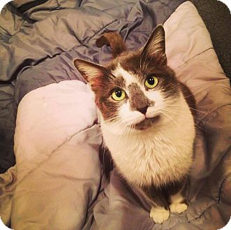 Domestic Shorthair Cat for adoption in Chicago, Illinois - Val