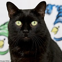 Domestic Shorthair Cat for adoption in St Louis, Missouri - Eileen