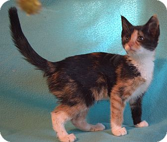 Domestic Shorthair Kitten for adoption in Staunton, Virginia - Peony
