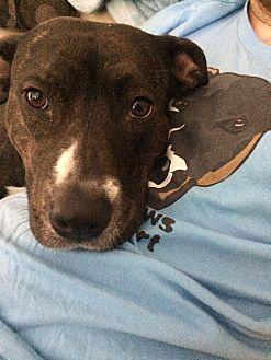 American Pit Bull Terrier/Labrador Retriever Mix Dog for adoption in Reno, Nevada - Luna