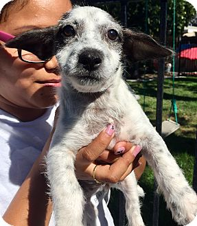 Fox Terrier (Wirehaired)/Jack Russell Terrier Mix Puppy for adoption in Santa Ana, California - Giovanna
