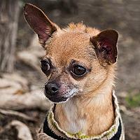 Adopt A Pet :: LATTE - San Juan Capistrano, CA