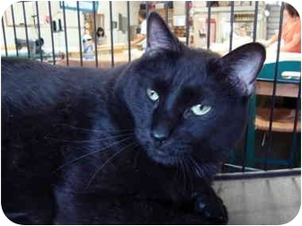 Domestic Shorthair Cat for adoption in Fort Lauderdale, Florida - Fudge