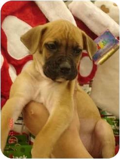 Boxer/Labrador Retriever Mix Puppy for adoption in Broomfield, Colorado - Cookie