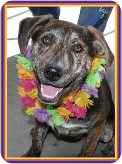 German Shepherd Dog/Hound (Unknown Type) Mix Puppy for adoption in Sacramento, California - Klyde best pup