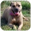 Photo 1 - American Pit Bull Terrier/Boxer Mix Dog for adoption in Vineland, New Jersey - Princess