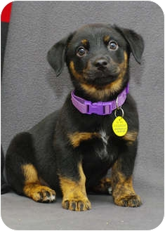 Shepherd (Unknown Type)/Rottweiler Mix Puppy for adoption in Westminster, Colorado - McGONAGALL