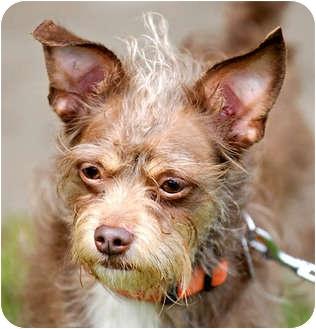 Yorkie, Yorkshire Terrier/Poodle (Miniature) Mix Dog for adoption in Jacksonville, Florida - Jack