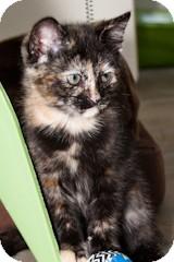Domestic Shorthair Kitten for adoption in Tustin, California - Sasha