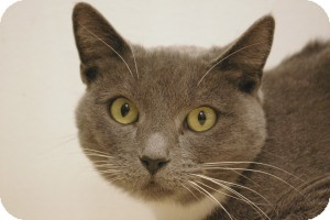 Domestic Shorthair Cat for adoption in Sacramento, California - Claire